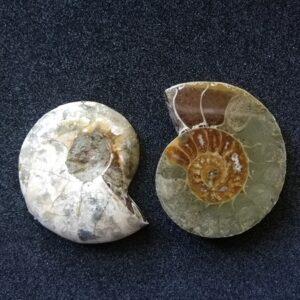 ammonitesz1